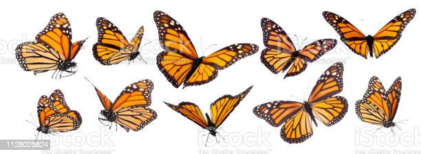 Monarch butterfly set isolated picture id1128025824?b=1&k=6&m=1128025824&s=612x612&h=fz3p7ukehrfubkhmsxaq2vy40qfpad0lwhs7pvq1zjk=