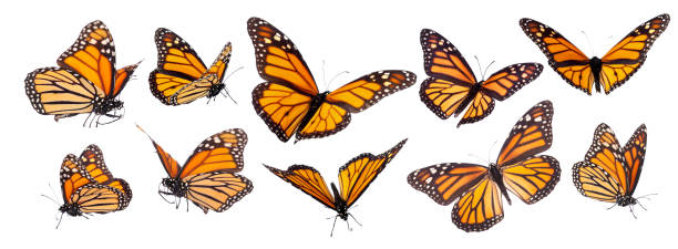 Monarch Butterfly Set Isolated stock photo