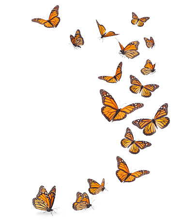 Variation on different positions of the beautiful Monarch butterfly with legs and proboscis flying in an upward trajectory.