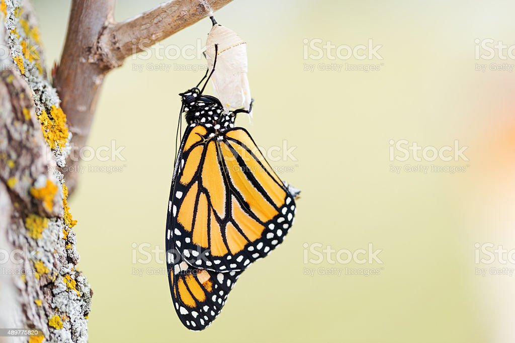 Monarch Butterfly Seventeen Minutes after Emerging from Cocoon stock photo