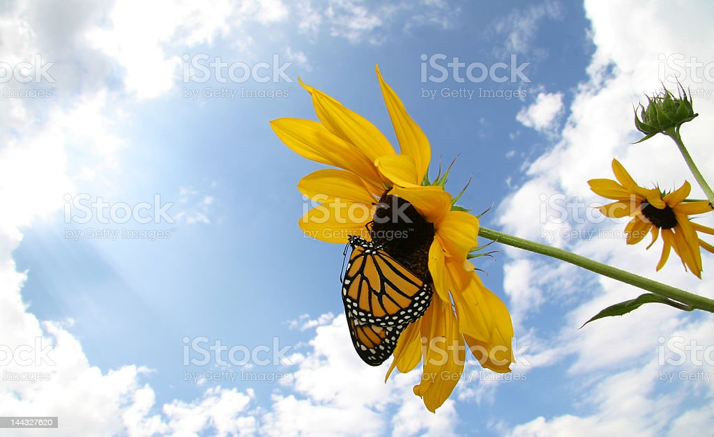 Monarch Butterfly shortly after leaving coccoon stock photo