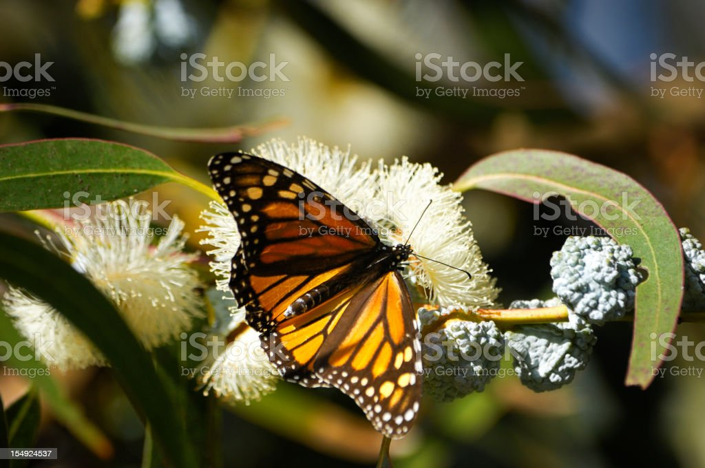 Monarch Butterfly sitting on a tree branch royalty-free stock photo