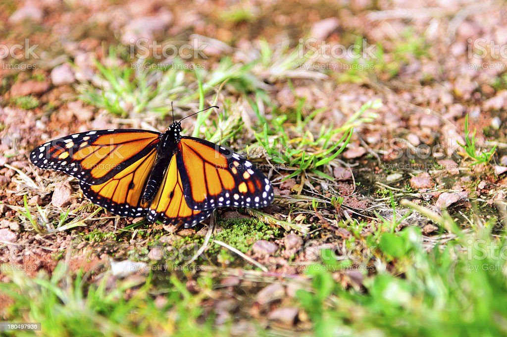 Monarch butterfly sitting on the ground royalty-free stock photo