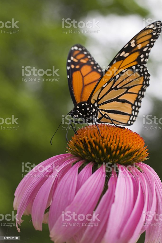 Monarch butterfly sucking nectar stock photo