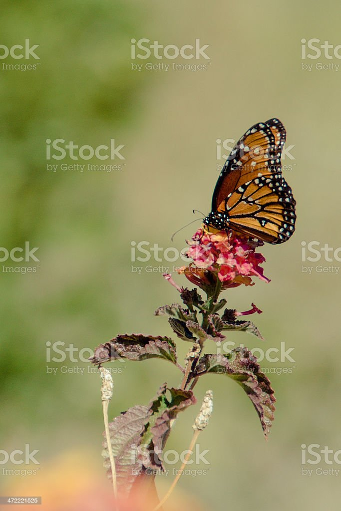 Monarch butterfly- vertical stock photo