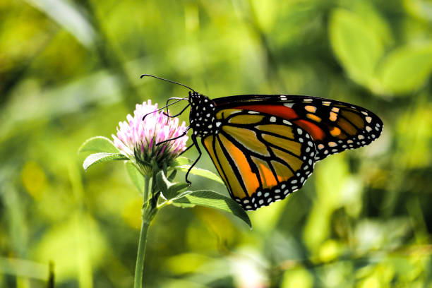 Monarch Butterfly Visiting A Clover stock photo