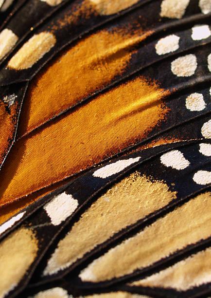 Monarch butterfly wing picture id134040038?b=1&k=6&m=134040038&s=612x612&w=0&h=lmacmqo6rwo6l9 deh3pzwgzocld4urdvq9dwqaa9ya=