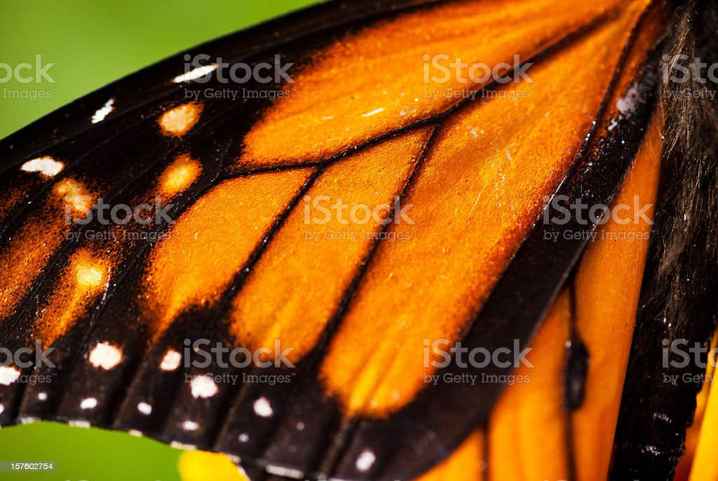 Monarch Butterfly wing royalty-free stock photo