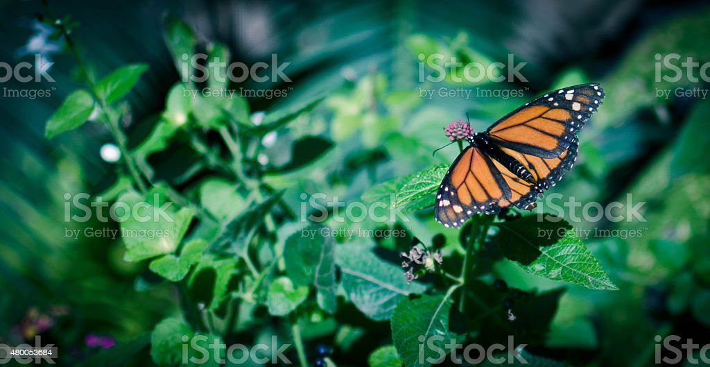 Monarch Butterfly with green background stock photo