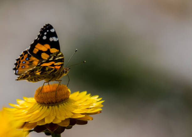 monarch butterly on yellow everlasting daisy - janet k scott stock pictures, royalty-free photos & images