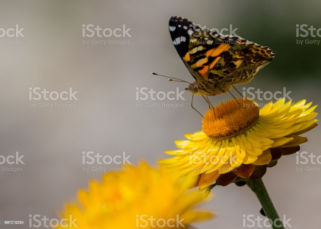 Monarch Butterly on yellow Everlasting Daisy stock photo