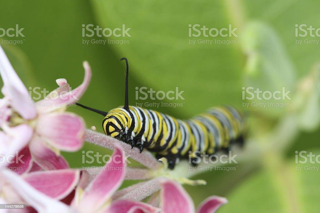 Monarch Caterpillar crawling up milkweed stock photo