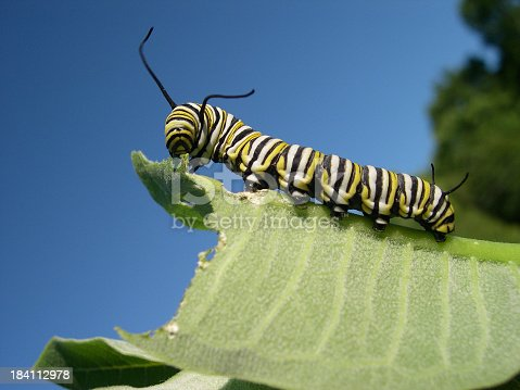 Monarch caterpillar eatin milkweed
