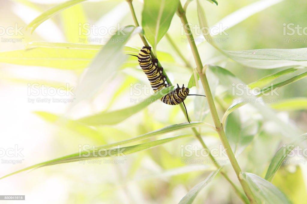 Monarch lagarta comer serralha - foto de acervo