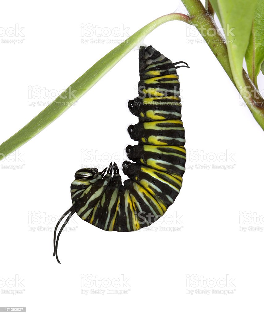 Monarch Caterpillar in 'J' Shape royalty-free stock photo