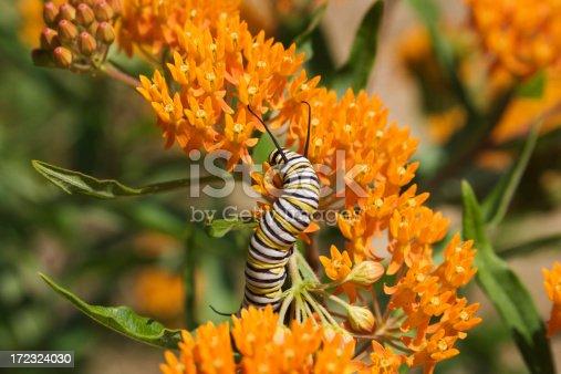 Subject: A monarch caterpillar feeding on milkweed