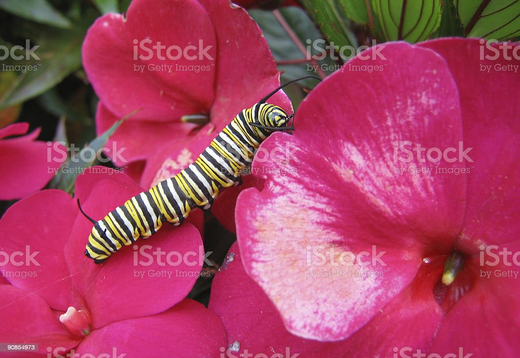 Monarch Caterpillar on Flowers royalty-free stock photo