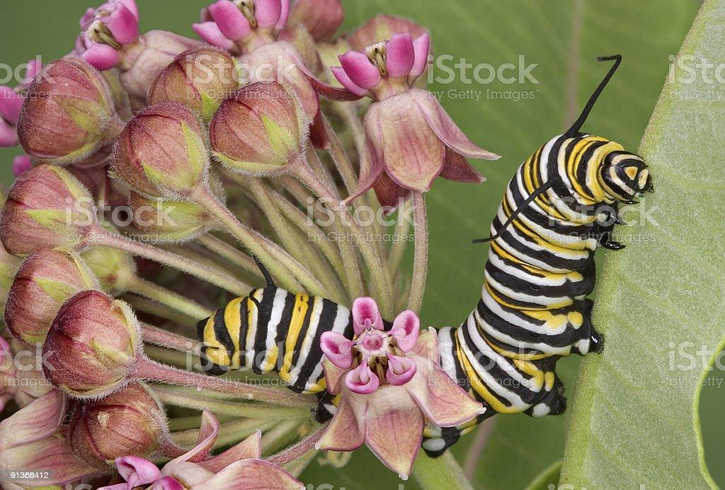 Monarch caterpillar on milkweed 7 stock photo