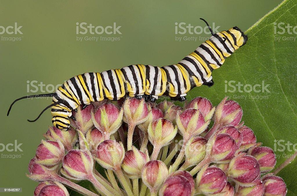 Monarch caterpillar on milkweed buds stock photo