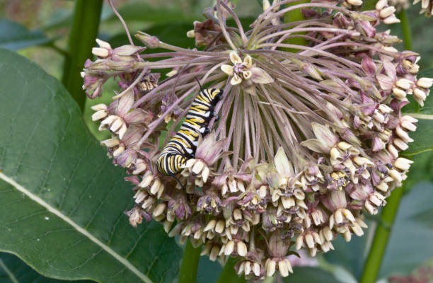 Monarch Caterpillar on Milkweed Flower stock photo