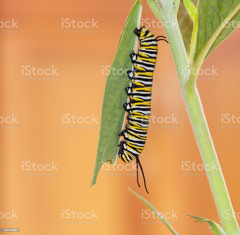 Monarch Caterpillar on milkweed leaf royalty-free stock photo