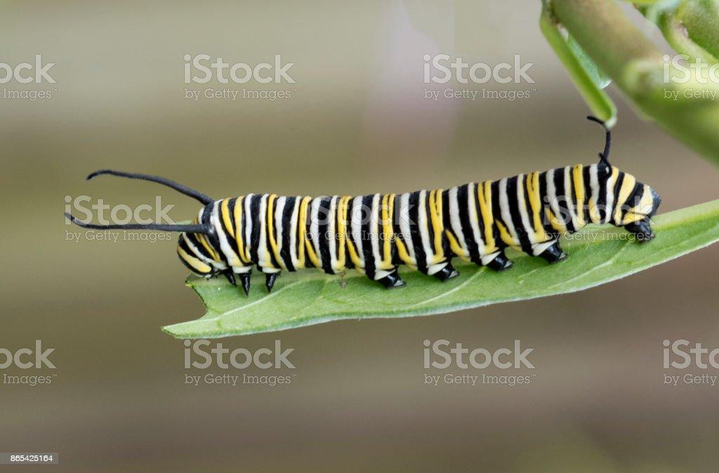 Monarch Caterpillar em folha de Asclépia - foto de acervo