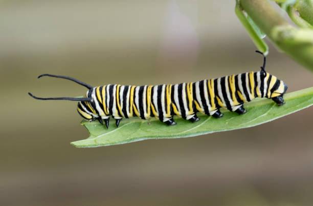 monarch caterpillar em folha de asclépia - lagarta - fotografias e filmes do acervo