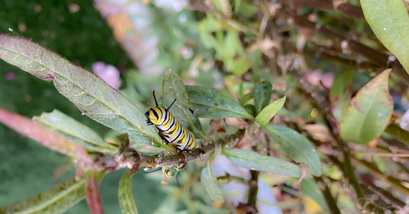 A Monarch Caterpillar feeds on the milkweed upon which an egg was laid. This caterpillar will continue to gorge itself until the time comes for it to make a cocoon. The striped body and head like ends, helps to conceal it until it is ready for the next stage.