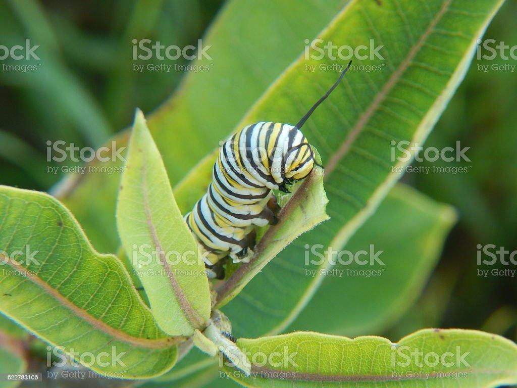 Monarch Caterpillar em Asclépia - foto de acervo