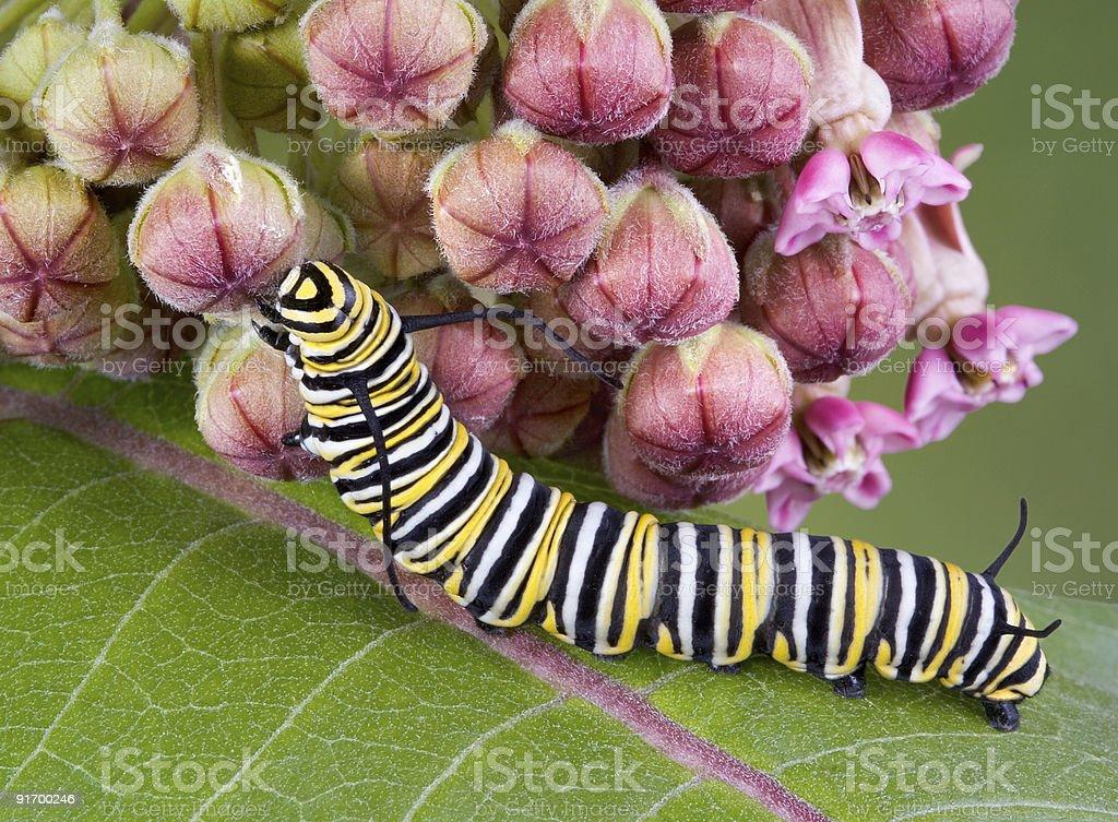Monarch caterpillar on milkweed stock photo