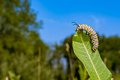 A Monarch Caterpillar on Milkweed in New England.