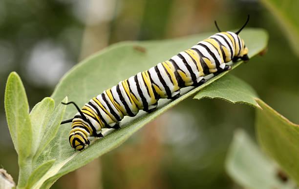 Monarch caterpillar picture id172241810?b=1&k=6&m=172241810&s=612x612&w=0&h=phz5r48yupvwzfmh 1n yhdayujzr dnxglipxlinhs=