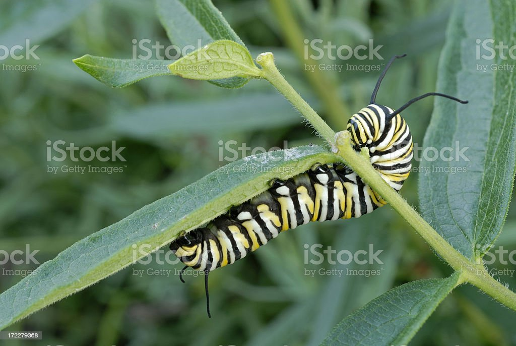 Monarch Caterpillar royalty-free stock photo