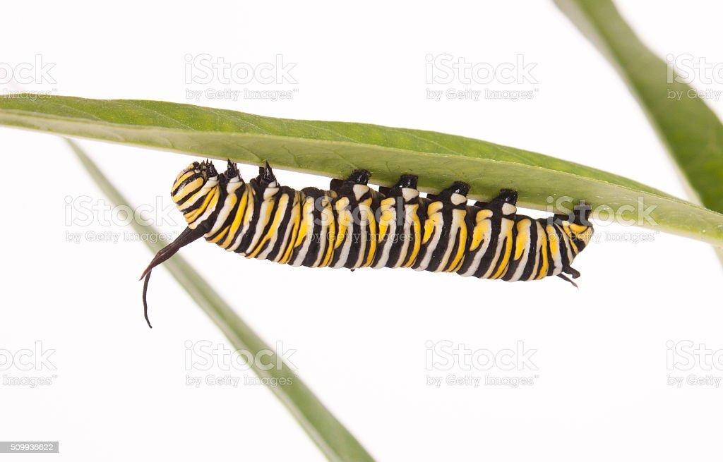 Monarch Caterpillar - foto de acervo
