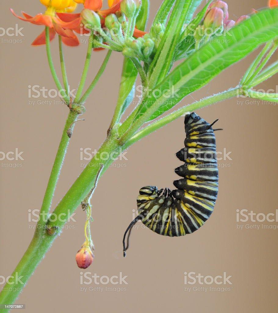Monarch caterpillar preparing for change royalty-free stock photo
