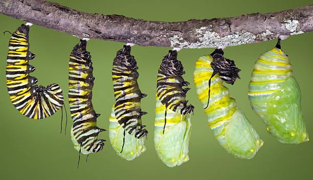 monarch raupe sich häuten, bis sie zu einem weingut chrysalis - neuanfang nach trennung stock-fotos und bilder