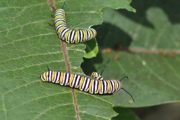 Monarch caterpillars eating a milkweed leaf stock photo
