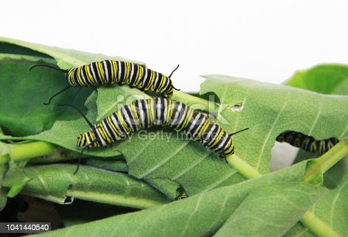Monarch Caterpillars are busy eating the leaves of a milkweed plant. This is their primary diet.