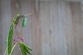 Monarch Chrysalis, Danaus Plexppus, on Milkweed stem against rustic wooden background room for text copy