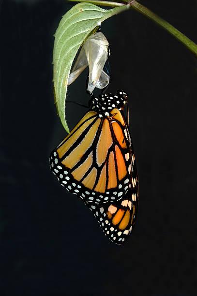 monarch 대두 - 누에고치 뉴스 사진 이미지
