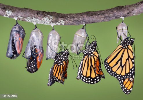 A composite of five different views of a monarch emerging from its chrysalis. It shows the emerging monarch from the first opening of the chrysalis to the final unfolding and drying of its wings. The butterfly starts its emergence upside down and has to grab the chrysalis tightly with its legs and right itself.