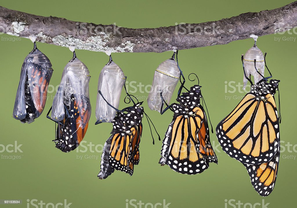 Monarch emerging from chrysalis stock photo