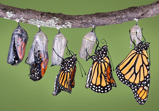 monarca emergente dalla chrysalis - farfalla ramo foto e immagini stock