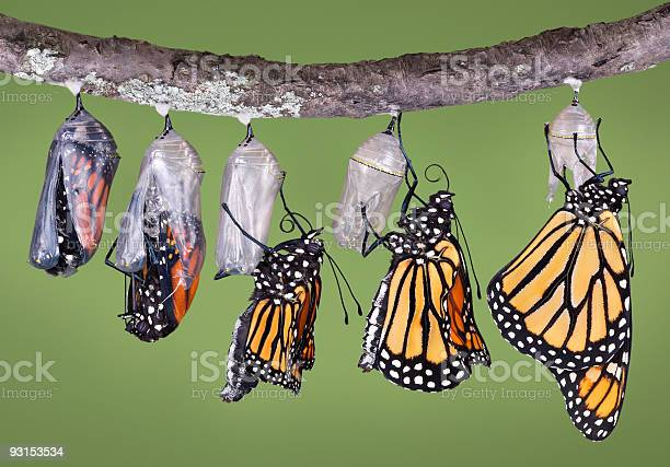 Monarch Emerging From Chrysalis Stock Photo - Download Image Now