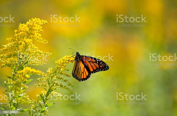 Photo of Monarch Feeding on Goldenrod