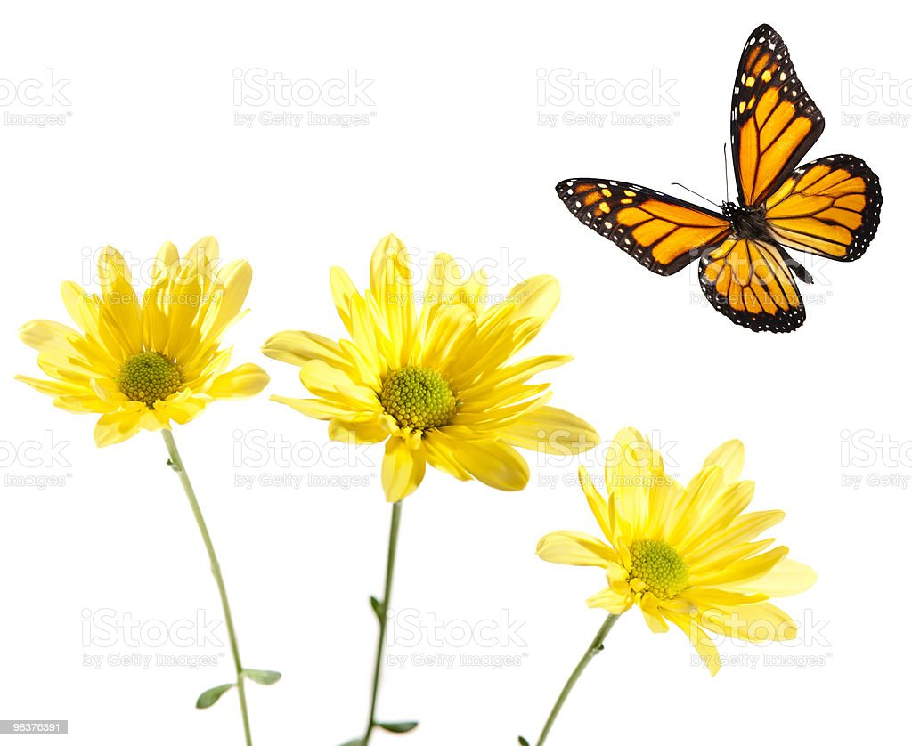 Monarch Flying over Yellow Daisies royalty-free stock photo