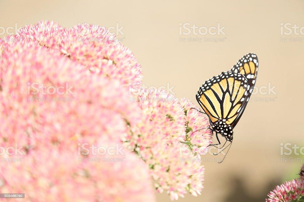Monarch in Autumn stock photo