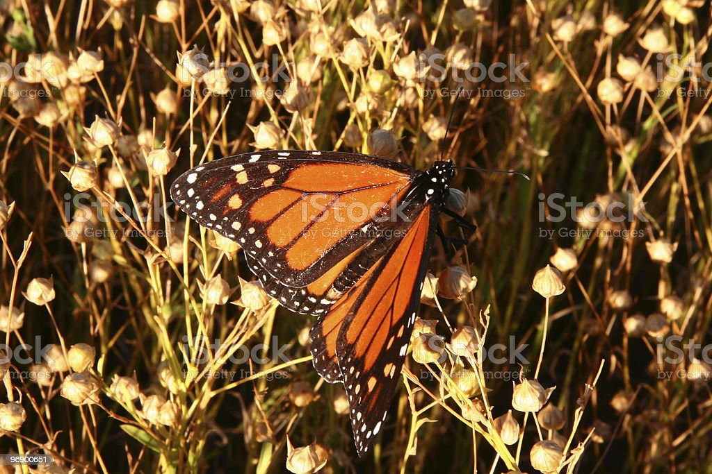 Monarch in Flax Field royalty-free stock photo