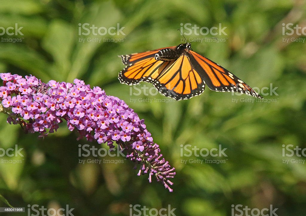 Monarch in Motion stock photo
