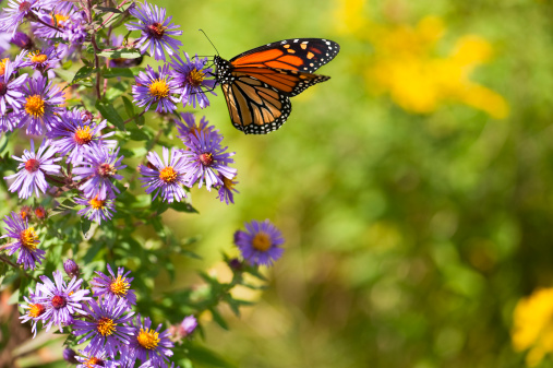 A monarch butterfly feeding on blooming wild asters in the summer.